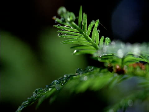 Foliage of coast redwood tree, Redwood National Park, USA