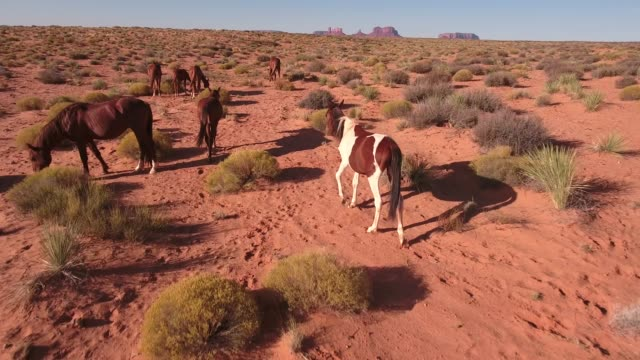 follow close wild horses, drone aerial 4k, monument valley, valley of the gods, desert, cowboy, desolate, mustang, range, utah, nevada, arizona, gallup, paint horse .mov - paint horse stock videos & royalty-free footage