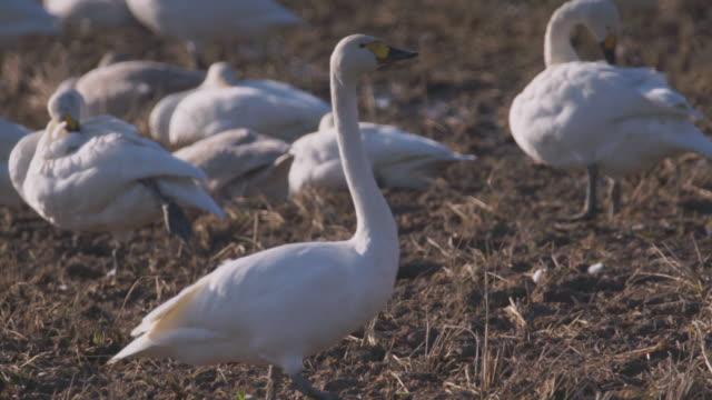 follow shot of a tundra swan (cygnus columbianus) moving through a flock of its fellow swans, ishikawa, japan. - egret stock videos & royalty-free footage