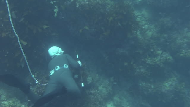 vídeos de stock e filmes b-roll de follow shot of an ama diver diving deeper into the sea with her body tied to a floating basket with a long rope: zoom in as she finds a japanese... - organismo aquático