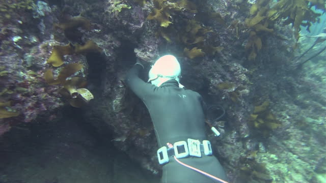 vídeos de stock e filmes b-roll de follow shot of an ama diver searching for lobsters underwater: zoom in as she finds a japanese spiny lobster between rocks: close shot of her... - organismo aquático