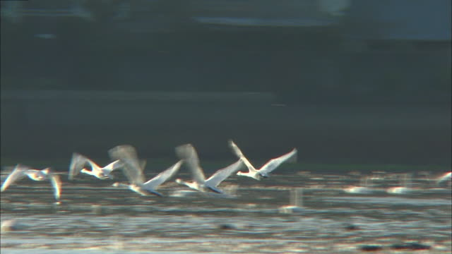 follow shot of several tundra swans (cygnus columbianus) taking flight from oyama shimo-ike pond - water bird stock videos & royalty-free footage