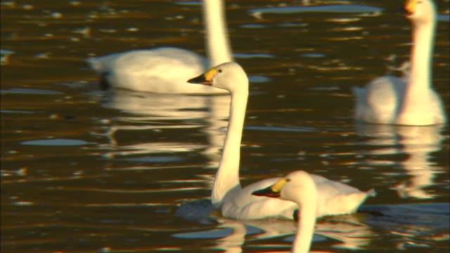 follow shot of several tundra swans (cygnus columbianus) - water bird stock videos & royalty-free footage
