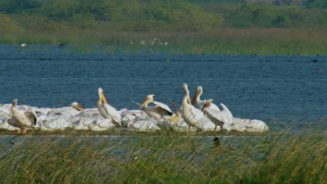 vídeos de stock e filmes b-roll de follow shot of two pelicans flying and landing among a small flock of pelicans - sentar se