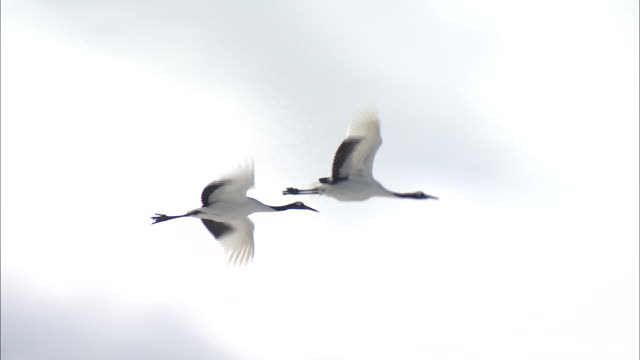 follow shot of two red-crowned cranes (grus japonensis) flying gracefully - 2匹点の映像素材/bロール