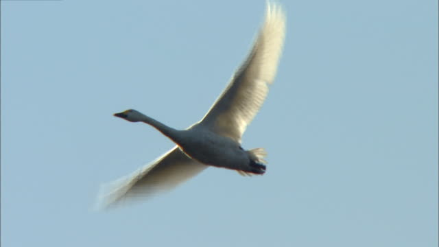 follow shot of two tundra swans (cygnus columbianus) in flight over oyama shimo-ike pond - 2 3 years stock videos & royalty-free footage
