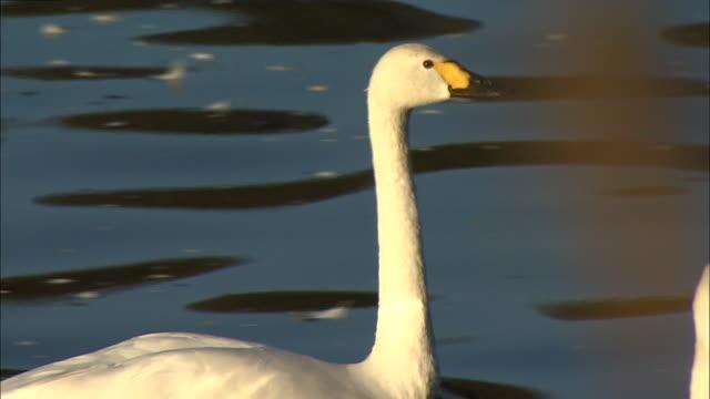follow shot of two tundra swans (cygnus columbianus) paddling on oyama shimo-ike pond - water bird stock videos & royalty-free footage