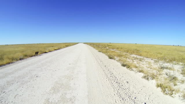 pov ts following a leopard - dirt road stock videos and b-roll footage