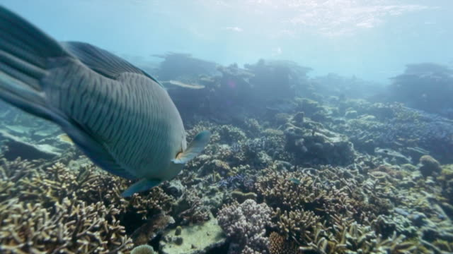 following a maori wrasse on the great barrier reef - mittelgroße tiergruppe stock-videos und b-roll-filmmaterial