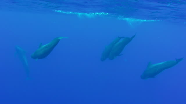 Following a pod of pilot whales as they swim to the surface and dive again, off the north western coast of Mauritius.
