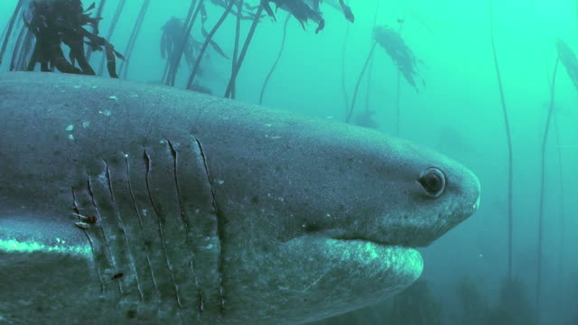 following a seven gill shark as it swims through the kelp forests of false bay, simonstown, south africa. - gill stock videos and b-roll footage