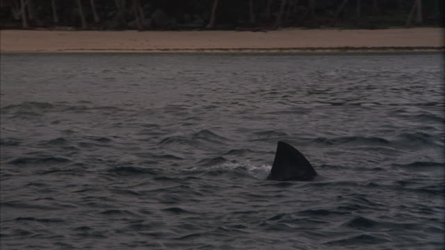 following a shark swimming close to shore with its dorsal fin exposed. - dorsal fin stock videos & royalty-free footage