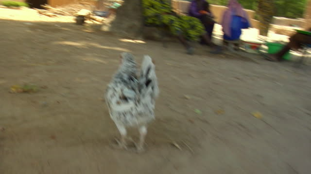 pov, following chicken running in village, near niono, mali - ニワトリ点の映像素材/bロール