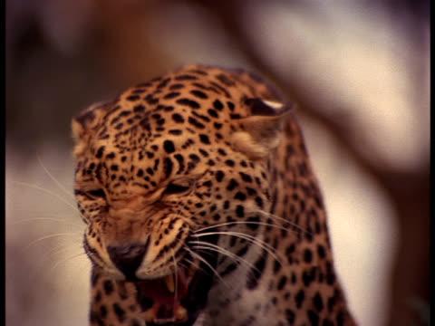 vídeos y material grabado en eventos de stock de following close-up of a leopard snarling. - tanzania