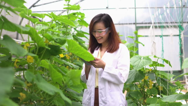 following front view: scientist inspecting melon tree and collecting data on a digital tablet - inspector stock videos & royalty-free footage