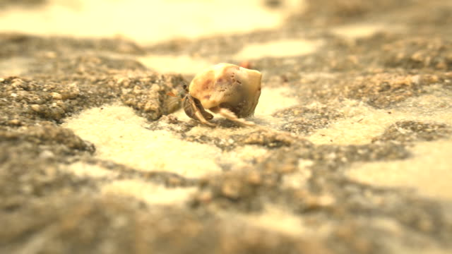 following: hermit crabs walking,walking and walking - conch stock videos & royalty-free footage
