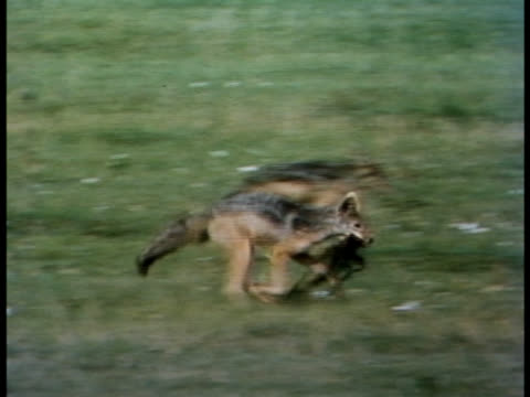 following shot of a black-backed jackal playing with a rag. - rag stock videos & royalty-free footage