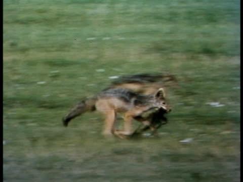 vídeos y material grabado en eventos de stock de following shot of a blackbacked jackal playing with a rag - oreja animal