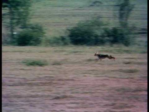 vidéos et rushes de following shot of a black-backed jackal running. - se nourrir des restes