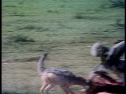 vidéos et rushes de following shot of a jackal chasing vultures. - se nourrir des restes