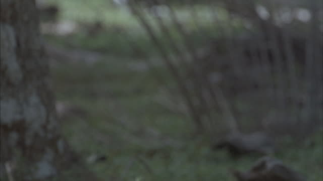 following shot of a pig running through a forest. - pig stock videos and b-roll footage