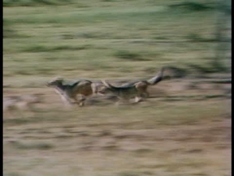 vídeos y material grabado en eventos de stock de following shot of blackbacked jackals racing and running - oreja animal