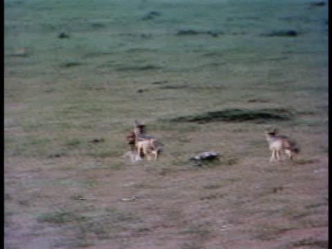 vídeos y material grabado en eventos de stock de following shot of blackbacked jackals with a small antelope - oreja animal