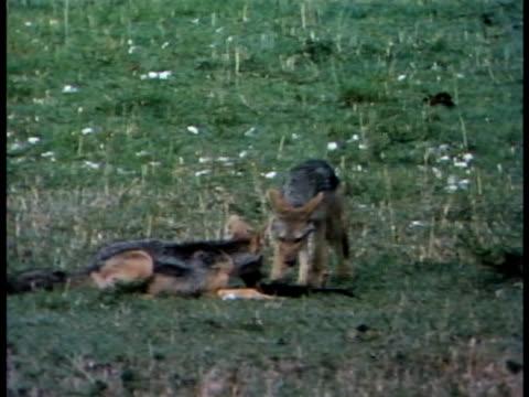 vídeos y material grabado en eventos de stock de following shot of three black-backed jackals playing. - trapo de limpiar el polvo