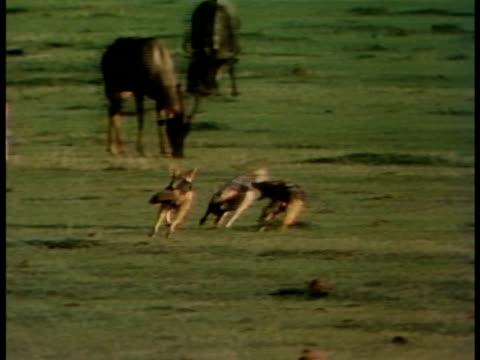 vídeos y material grabado en eventos de stock de following shot of three blackbacked jackals playing - oreja animal