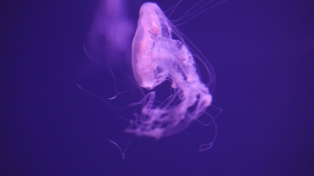 following view: atlantic sea nettle - nettle stock videos & royalty-free footage