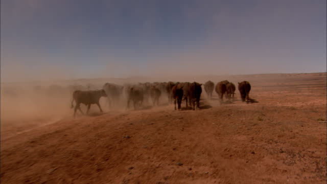 pov following young woman on dirt bike and herd of cattle traveling across dry barren land, anna creek, south australia, australia - herd stock videos & royalty-free footage