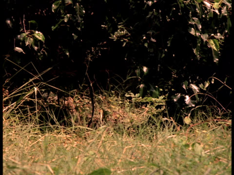 following-shot of a black panther approaching out of a dense jungle. - black panther stock videos & royalty-free footage