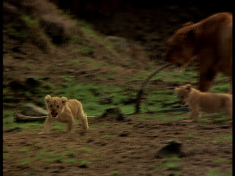 Following-shot of a lioness and her two cubs playing and walking in a grassy area.