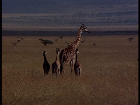 following-shot of a mature giraffe with three young ones walking on the plains. - vier tiere stock-videos und b-roll-filmmaterial