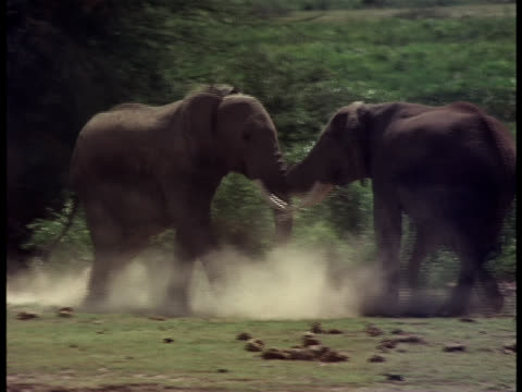 Following-shot of two elephants having a confrontation.