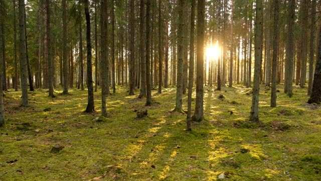 follows the evening sun in spruce forest in the spring - aprile video stock e b–roll