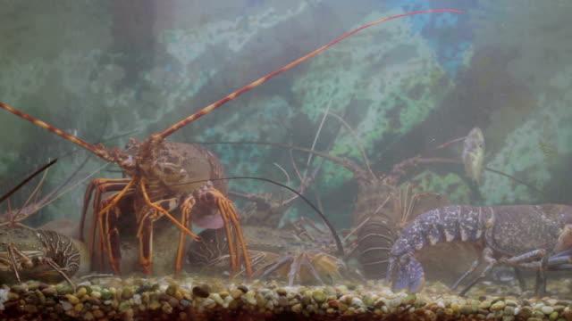 vídeos de stock e filmes b-roll de restaurante de comida de peixe, lagosta - lagosta