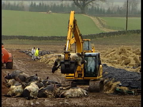 audit office report itn dead cows placed on pyre by digger smoke billowing from pyre - audit stock videos and b-roll footage