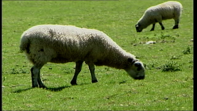 brecon beacons sheep cull itn wales brecon beacons ext gvs sheep grazing in fields pan field and sheep grazing / gvs sheep grazing brecon beacons in... - ブレコンビーコンズ国立公園点の映像素材/bロール