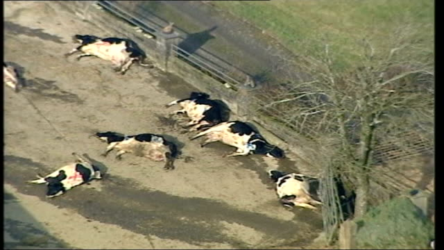 foot and mouth disease outbreak in surrey 2001 of dead cattle on ground in farmyard - rind stock-videos und b-roll-filmmaterial