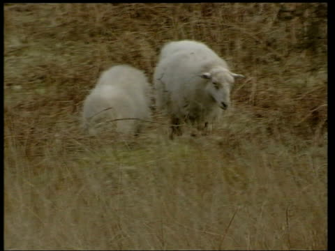 racing/alton towers/continental measures location unknown tms sheep along thru scrubby grass pan tls sheep in field sign at side of road 'unfenced... - maul und klauenseuche stock-videos und b-roll-filmmaterial