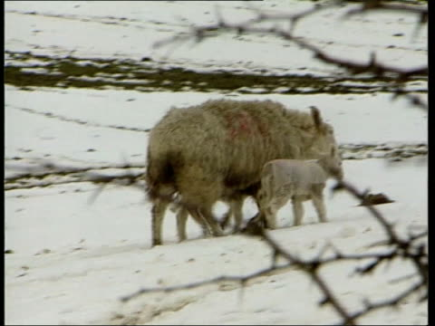 scientists predictions lib wales kerry valley sheep and lambs along in field pan int side cs cows in cowshed eating gv cows eating in shed as tractor... - foot and mouth disease stock videos & royalty-free footage
