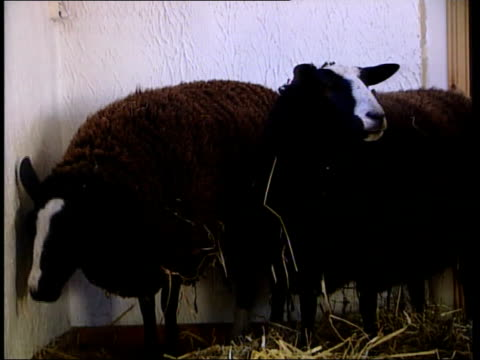 sheep ordered to be slaughtered itn scotland dumfries galloway whithorn face of rare sheep as it bleats sot pull out cms face of sheep tms rare sheep... - verwaltungsbehörde dumfries and galloway stock-videos und b-roll-filmmaterial