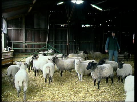 situation improves itn england northampton trevor foss with his sheep in shed tms black faced sheep trevor foss interview sot was a large part of... - northampton stock-videos und b-roll-filmmaterial