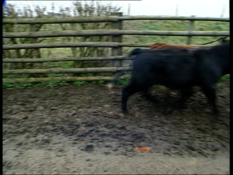 stockvideo's en b-roll-footage met tourism job loss fears itn cows in shed farmer watching cows along from shed cows running along london downing street agriculture minister nick brown... - foot and mouth disease