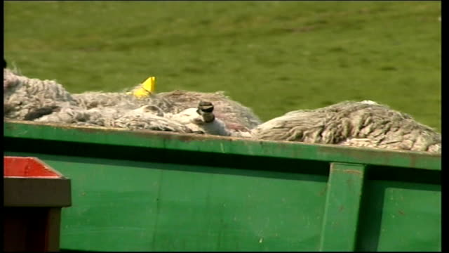 stockvideo's en b-roll-footage met yorkshire sheep cull itn two parked tractors in field with two skips full of dead sheep / live sheep in field pan to sheep carcasses in skips in next... - foot and mouth disease