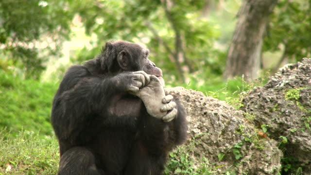 vidéos et rushes de pied de arrivée - chimpanzé