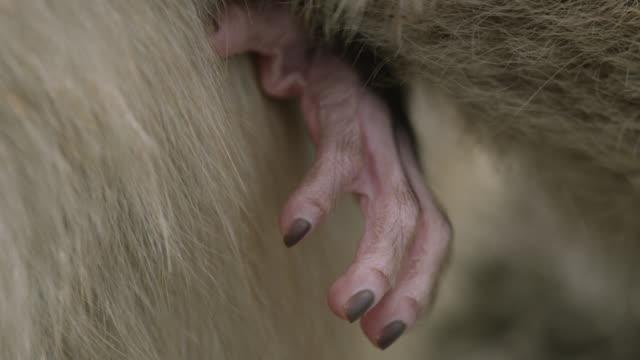 foot of baby barbary macaque (macaca sylvanus), gibraltar - macaque stock videos & royalty-free footage