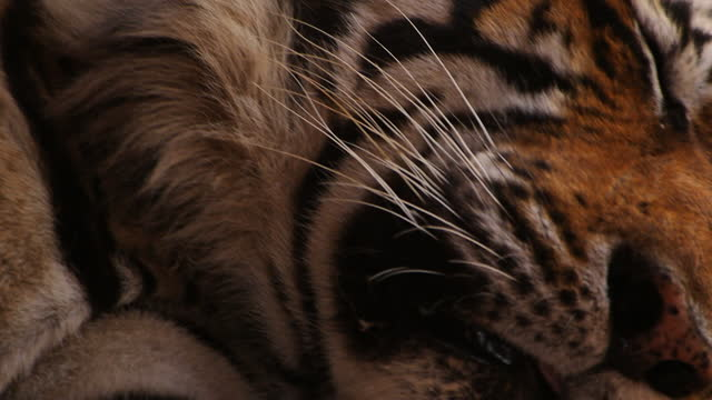 foot of bengal tiger resting / india - claw stock videos & royalty-free footage