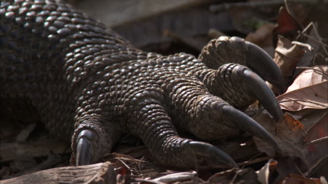 foot of komodo dragon. - claw stock videos & royalty-free footage